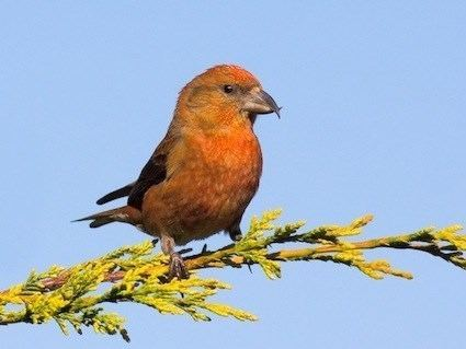 Red crossbill httpswwwallaboutbirdsorgguidePHOTOLARGEre