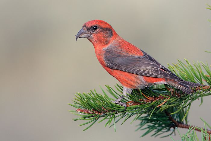 Red crossbill Red Crossbill Bird Habitat Diet Call Images Facts Coniferous