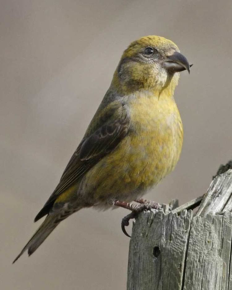Red crossbill Red Crossbill Audubon Field Guide