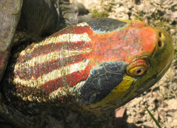 Red-crowned roofed turtle RogueSquid coolcritters Redcrowned roofed turtle