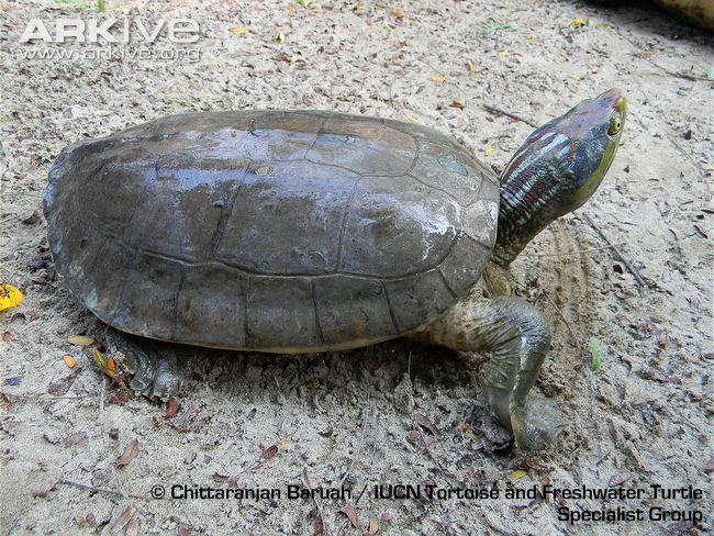 Red-crowned roofed turtle Redcrowned roofed turtle videos photos and facts Batagur kachuga