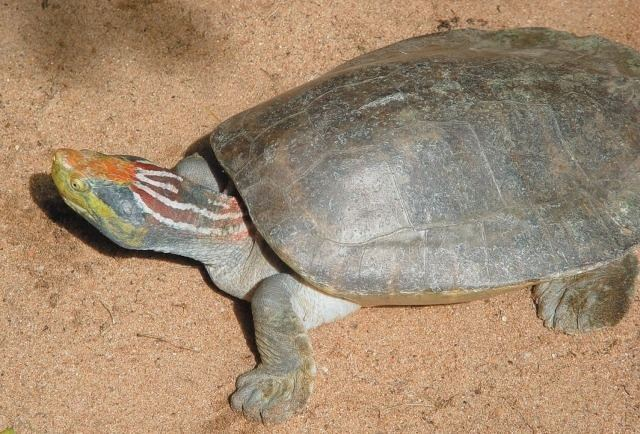 Red-crowned roofed turtle Reptile Facts coolcritters Redcrowned roofed turtle