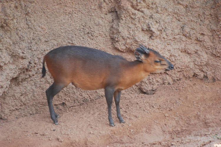 Red flanked duiker - Alchetron, The Free Social Encyclopedia