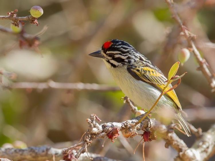Red-fronted tinkerbird Redfronted Tinkerbird Pogoniulus pusillus videos photos and
