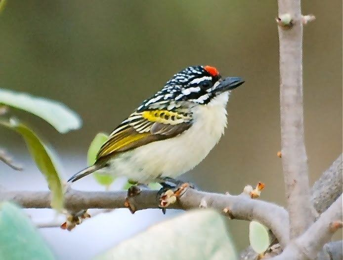 Red-fronted tinkerbird Redfronted Tinkerbird E South Africa amp SSudan and Ethiopia S