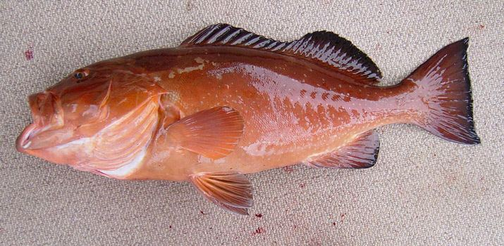 Red grouper Species Identification Family Serranidae Red grouper