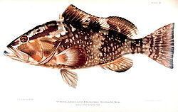Red grouper httpsuploadwikimediaorgwikipediacommonsthu