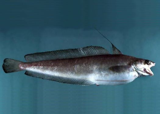 Red hake Spatial Analyses Red Hake Distribution Ecosystem Considerations