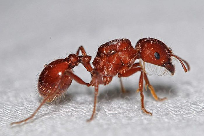 Red Harvester Ant Alchetron The Free Social Encyclopedia