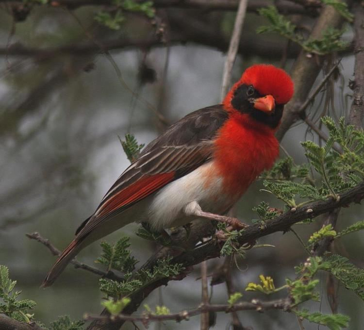 Red-headed weaver Redheaded Weaver Anaplectes rubriceps videos photos and sound