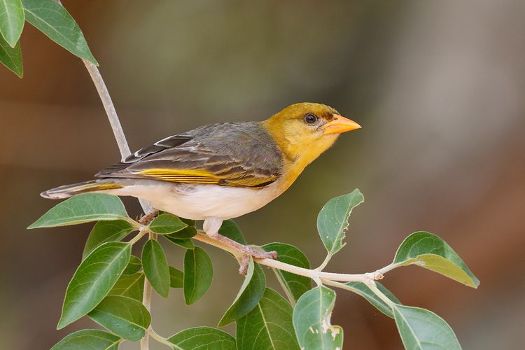 Red-headed weaver Redheaded Weaver Bird amp Wildlife Photography by Richard and