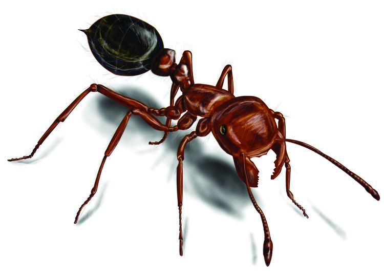 Red imported fire ant Fire Ants Red Fire Ant Control amp Facts Orkincom