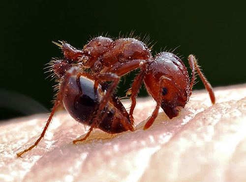 Red imported fire ant CISR Red Imported Fire Ant