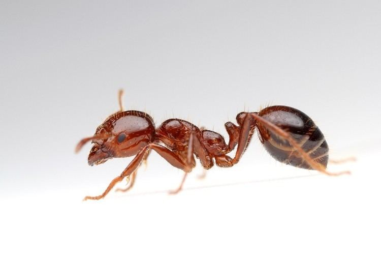 Red imported fire ant Red Imported Fire Ant