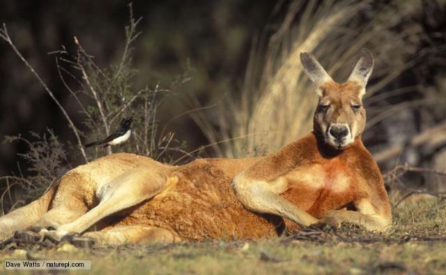 Red kangaroo BBC Nature Red kangaroo videos news and facts