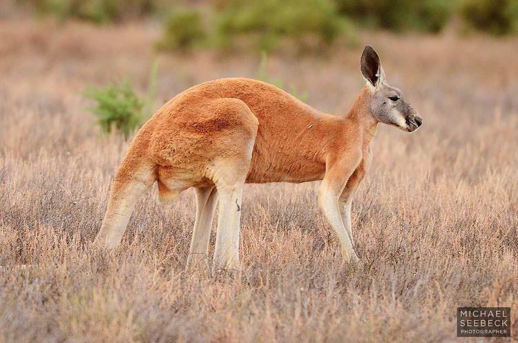 Red kangaroo 78 Best images about Red kangaroo reference on Pinterest Australia