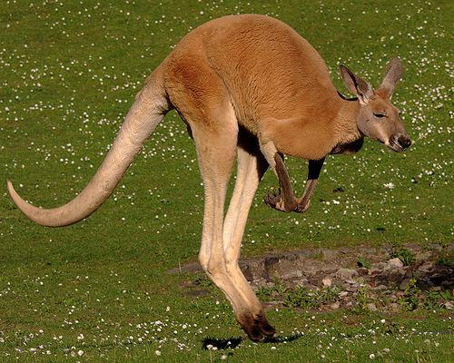 Red kangaroo Red Kangaroo Fact Sheet
