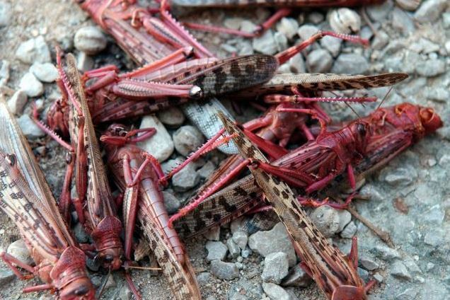 Red locust Red locust plague threatens Zambia African Farming