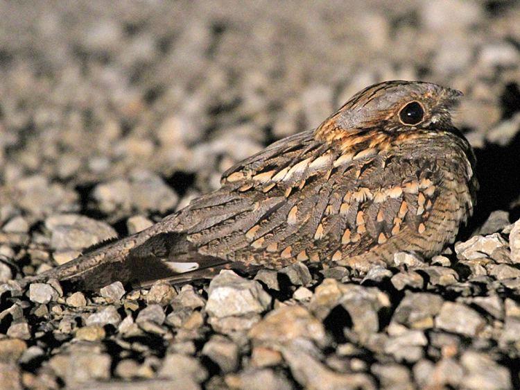 Red-necked nightjar NE Spain gobirdingeu