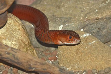 Red spitting cobra Insanely Killer Facts about the Red Spitting Cobra