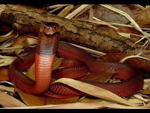 Red spitting cobra httpsiytimgcomviDazPfCwyaj8hqdefaultjpg