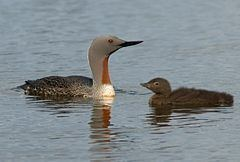 Red-throated loon Redthroated loon Wikipedia
