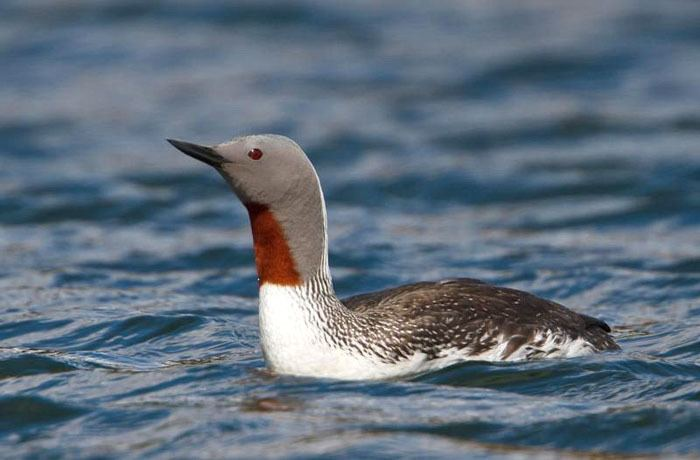 Red-throated loon Redthroated Loon Gavia stellata Wildlife Journal Junior