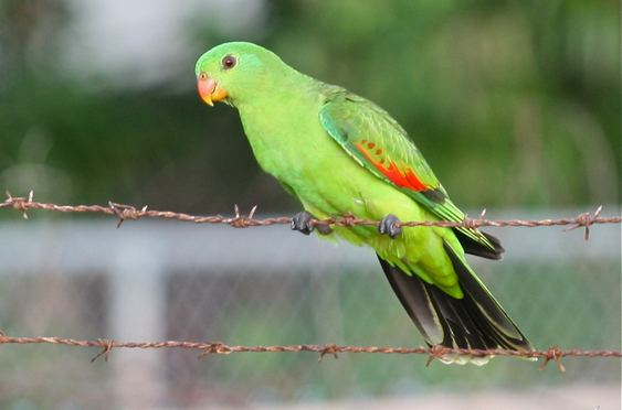 Red-winged parrot redwinged parrot Bininj Kunwok Names for Plants and Animals