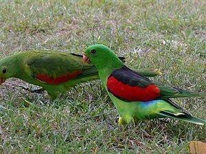 Red-winged parrot httpsuploadwikimediaorgwikipediacommonsthu