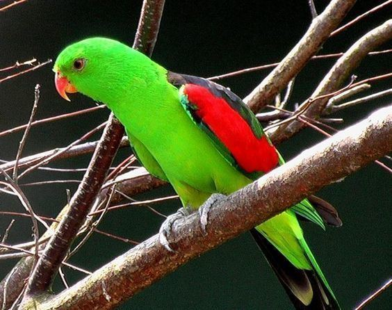 Red-winged parrot red winged parrot Australia Pinterest Red Parrots and Red wing
