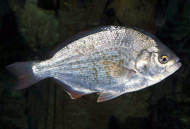 Redtail surfperch Redtail surfperch Wikipedia