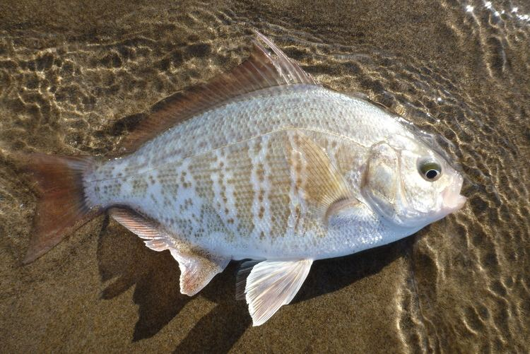 Redtail surfperch Redtail surfperch Amphistichus rhodoterus Biodiversity of the