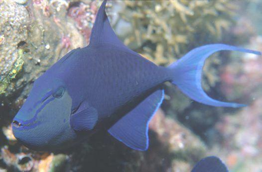 Redtoothed triggerfish Odonus niger Redtoothed triggerfish Xenodon niger