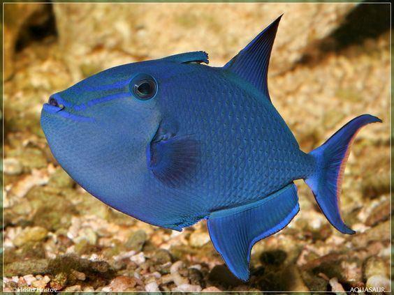 Redtoothed triggerfish httpssmediacacheak0pinimgcom564xe445e2