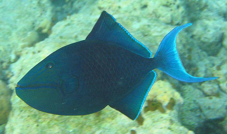 Redtoothed triggerfish Redtoothed triggerfish Wikipedia