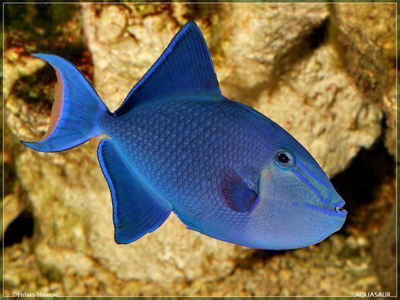 Redtoothed triggerfish Roodtandtrekkervis Redtoothed triggerfish or Nigger Trigger