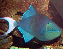 Redtoothed triggerfish Redtoothed triggerfish Dallas World Aquarium