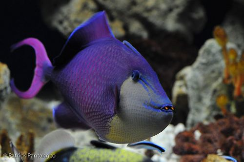 Redtoothed triggerfish redtoothed trigger fish The redtoothed triggerfish is a d Flickr