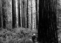 Redwood Experimental Forest httpsuploadwikimediaorgwikipediacommonsthu