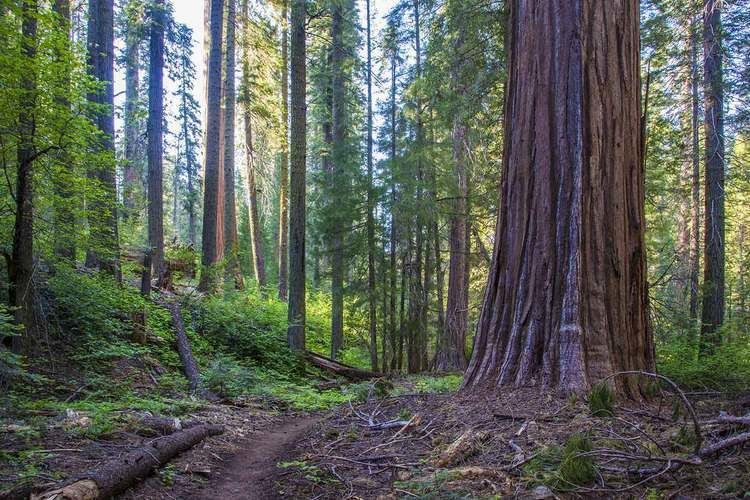 Redwood Mountain Grove wwwredwoodhikescomSequoiaNPRedwoodMountainCjpg
