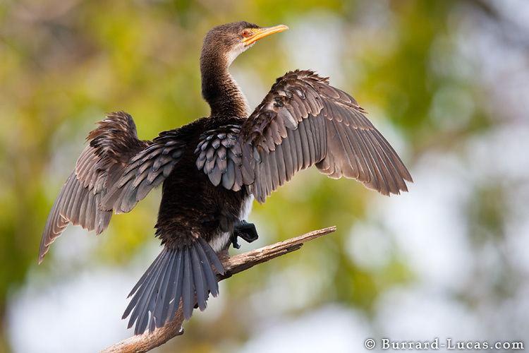 Reed cormorant Reed Cormorant BurrardLucas Photography