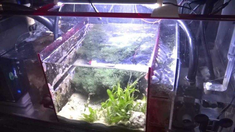 Refugium (fishkeeping) How To Setup A Sump Refugium YouTube