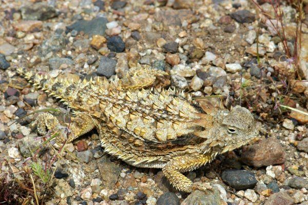Regal horned lizard Wild Herps Regal Horned Lizard Phrynosoma solare
