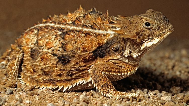 Regal horned lizard Regal Horned Lizard Animal Profile