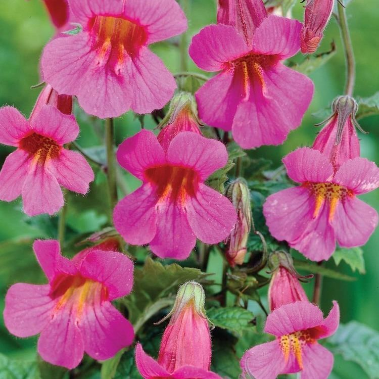 Rehmannia Rehmannia Nature39s AllAround Tonic