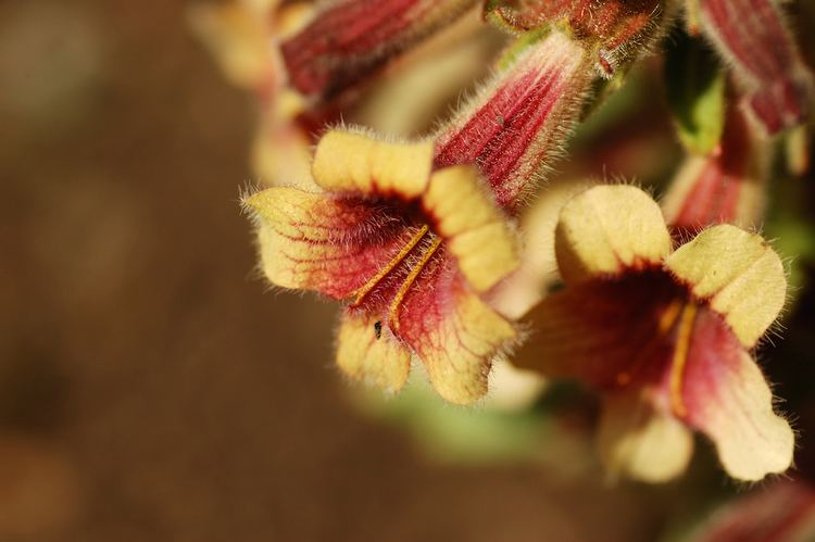 Rehmannia Rehmannia An Adrenal Tonic Herb of the Highest Order Longevity