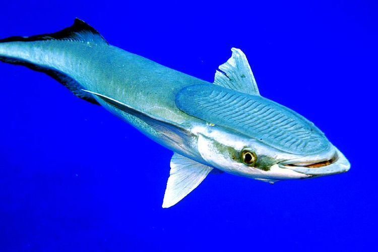 The Remora Shark Relationship Is A Frequently Cited Exle Of Mutualism