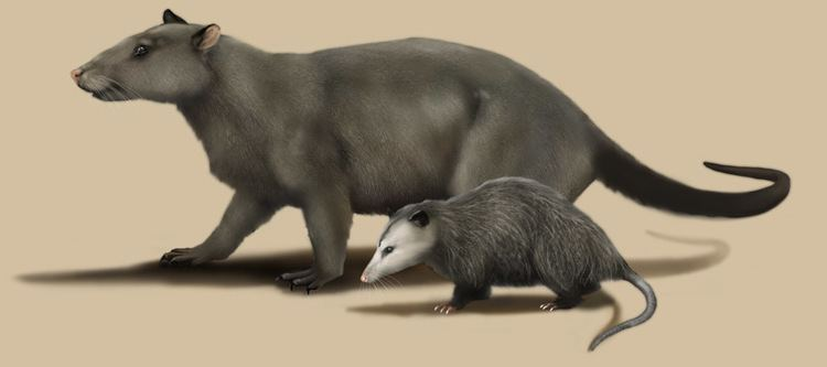 Repenomamus Repenomamus giganticus and modern opossum for The Teaching Company