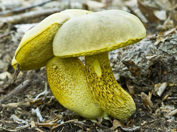 Retiboletus ornatipes Pored fungi images cvms