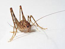 Rhaphidophoridae Rhaphidophoridae Wikipedia